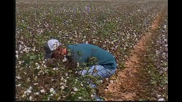 Drought Affected Cotton Farmers But They Don't Want Rain