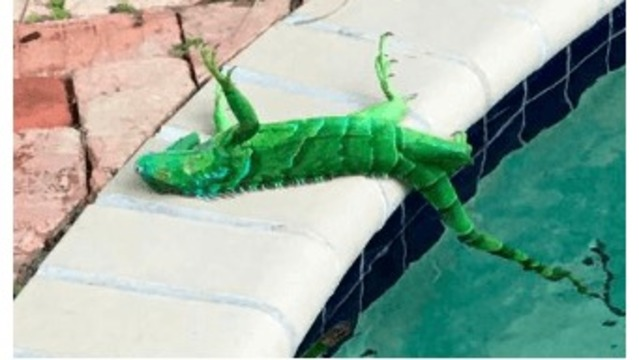 It's so cold frozen iguanas are falling out of trees