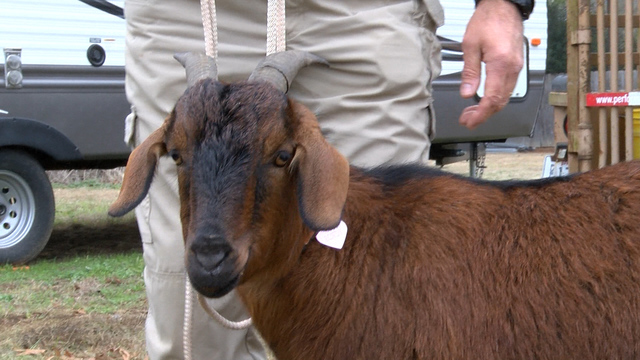 Rowdy the goat is back home