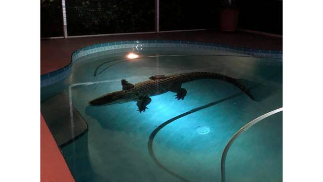 11-foot gator removed from Nokomis swimming pool