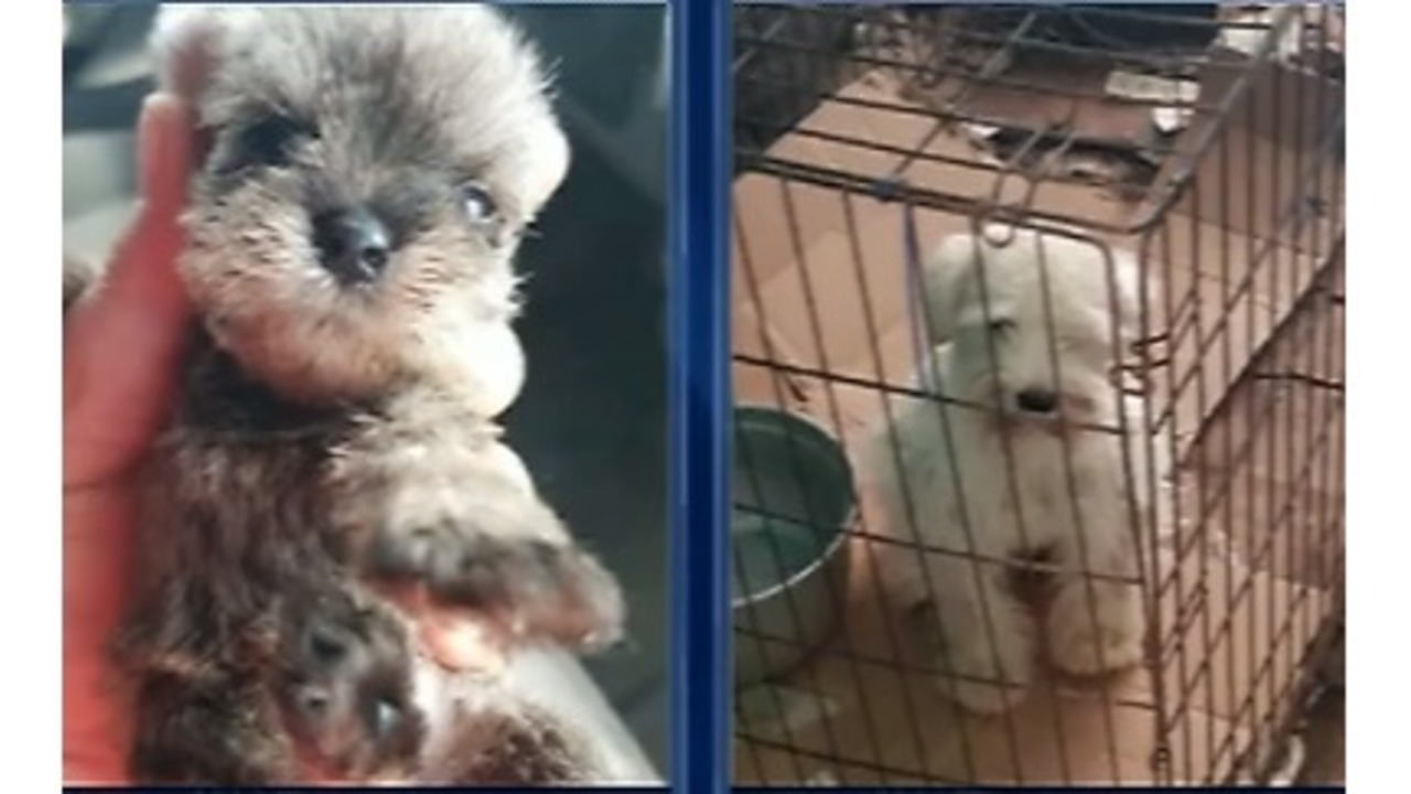 Animal Cruelty In Porn animal cruelty: la humane society rescues 47 dogs from breeder